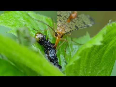 Scorpion Fly Makes A Meal Of A Decomposing Caterpillar