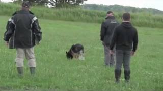 Schutzhund 3 Tracking Score 98 Vongalanberg Kai And Travis Foster.flv