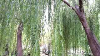 Willows Salix - Weeping Willow - Salcie Plangatoare HD 02