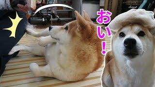 柴犬小春 【トリミング】静電気のパチパチを足蹴りで警告! thumbnail