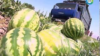 Как выбрать арбуз: 8 способов и правил выбора вкусного спелого арбуза, видео
