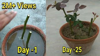Easiest way to grow rose from cutting in hindi with update, thumbnail