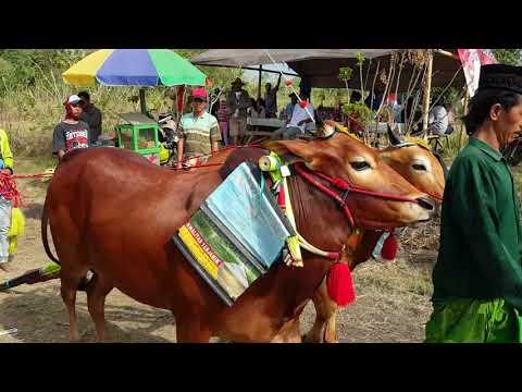 Kerapan sapi di kecamatan Ketapang 30 - 09 - 2017
