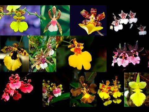 Onde Comprar Mudas de Orquídea? Orquídea Oncidium Sharry Baby Chocolate Chuva de Ouro e Mais