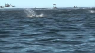 Pulo da Arraia Jamanta (Manta birostris)