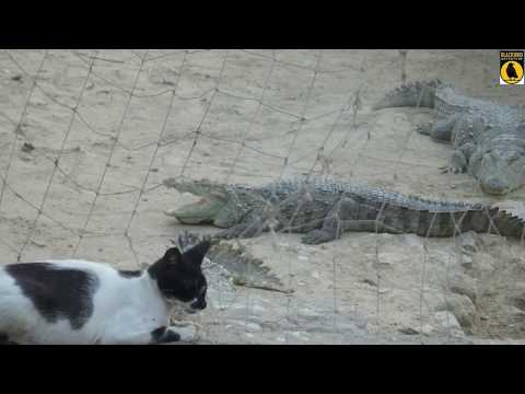 Manghopir Karachi ( Crocodiles )