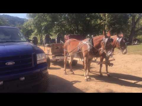 Draft mule team. For sale. Must see this