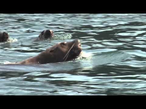 Steller Sea Lions Hunting Salmon in Alaska