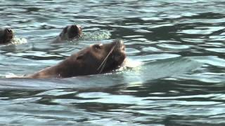 Steller Sea Lions Hunting Salmon in Alaska