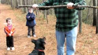 Rottweiler Lab Mix Eats Tree