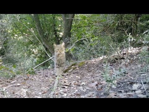 Rare Wild Cat Caught On Video By Italian Biologist