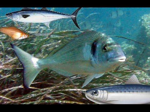 انواع الاسماك في البحر المتوسط واسمائها