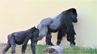 シャバーニ家族 174 Shabani family gorilla