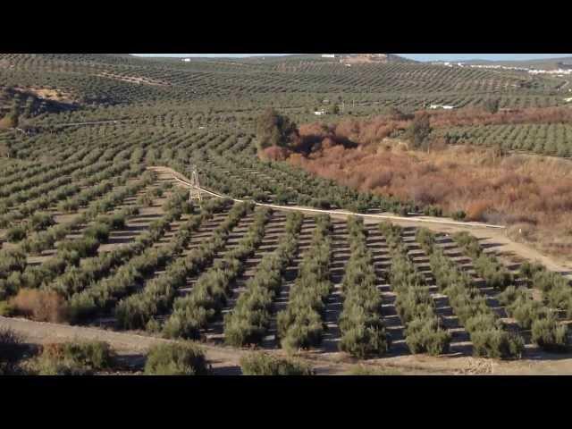 Recogida de aceituna, transporte a la almazara y producción de aceite. Albendín (Córdoba)
