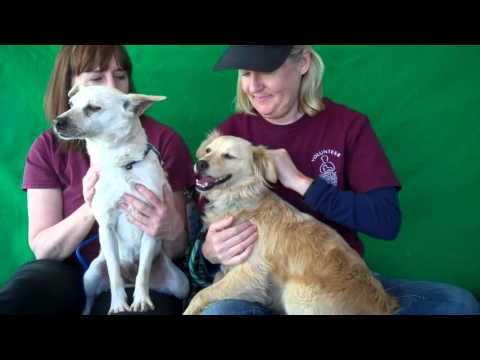 A4927576 Roxie + A4927579 Baci (RESCUED) | Tibetan Spaniel/Chihuahua Mix