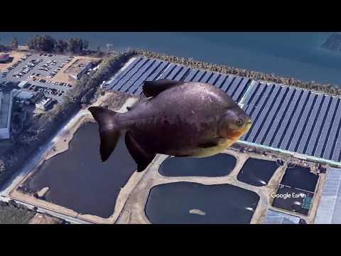 フライロッドが折れるって本当!?コロソマのフライフィッシング | Colossoma On Fly - Fly Fishing For Pacu