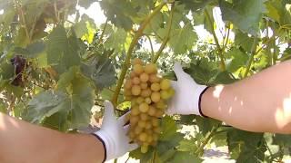 ОДИН З КРАЩИХ СОРТІВ ВИНОГРАДУ 2019 року, ВИНОГРАД СОФІЯ, найкращі сорти винограду.СОФІЯ