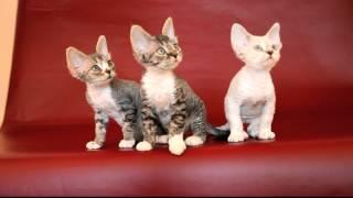 Котята девон-рекса