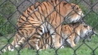 Tigers sex at the zoo