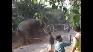 Elephant in angry mood