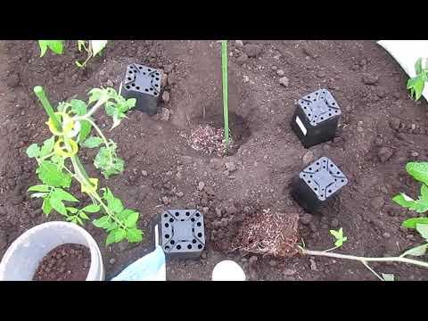 Высаживаем томаты в открытый грунт.Одна подкормка на весь сезон.