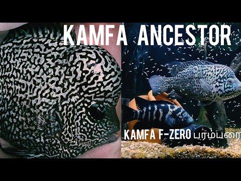 Cuban Cichlid-Kamfa FlowerHorn F-Zero Generation தமிழ் -E.G.Aquatics-Eshwar Gandhi