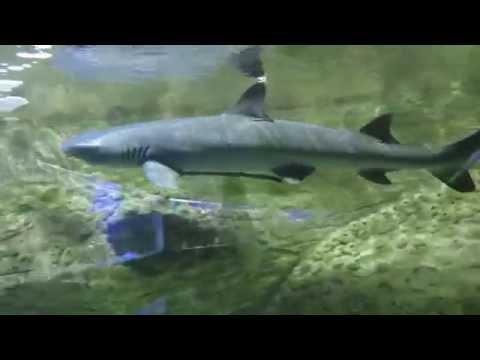Белоперая рифовая акула и Рыба прилипала
