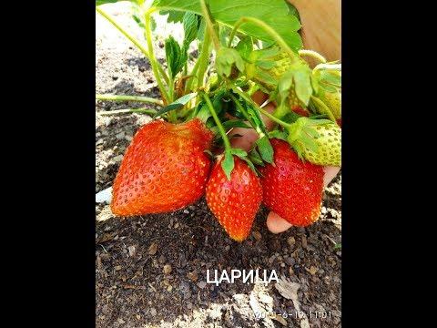 ЦАРИЦА. Сорт с красивыми, крупными, сладкими ягодами
