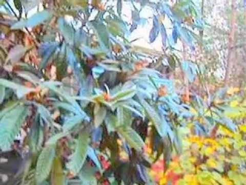 Деревья Черноморского побережья Мушмула. Лазаревское в декабре 2012