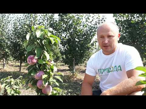 Вопрос: Колоновидная яблоня Янтарное ожерелье какие отзывы?