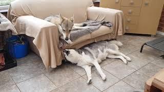 Skye Siberian Husky is trying to get Tala Czechoslovakian Vlcak Wolfdog to play!