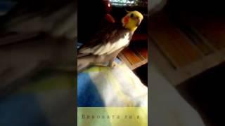 Попугай поет песню виновата ли я что люблю. Прикол. Попугай корелла. Говорящий попугай.