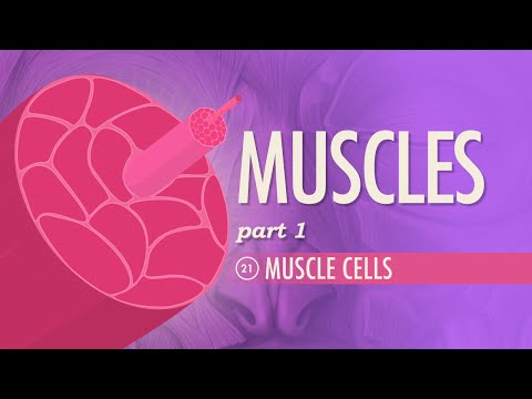Muscles, part 1 - Muscle Cells: Crash Course A&P #21
