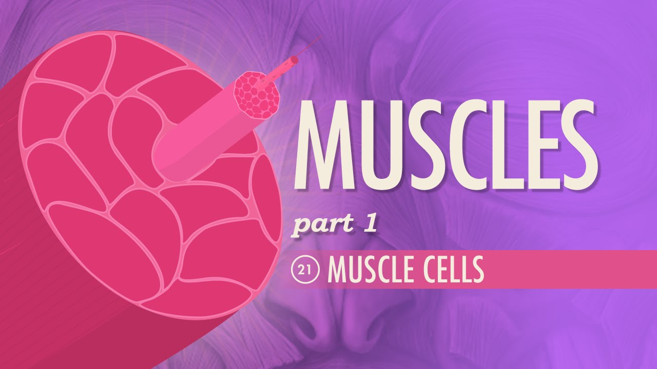 Muscles, part 1  Muscle Cells: Crash Course A&P #21  YouTube