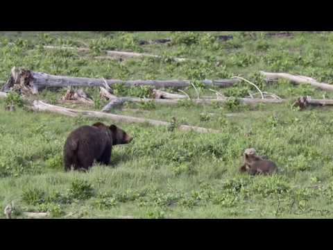 Grizzly Bear Cubs Playing in Yellowstone (4K)
