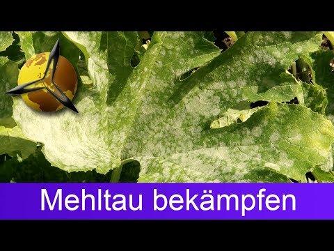 (Echter) Mehltau bei Zucchini bekämpfen