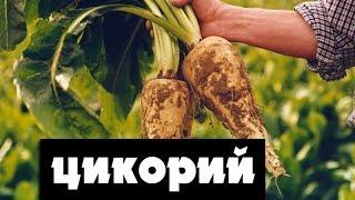 Как вырастить цикорий