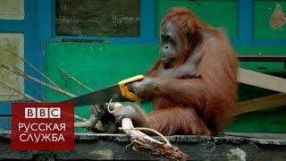 Самка орангутанга сама научилась пилить