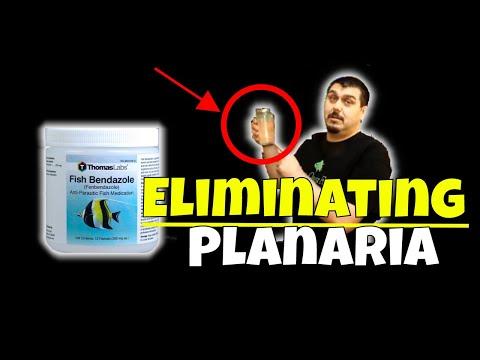 How To Eliminate Planaria In Planted Aquariums Using Fish Bendazole