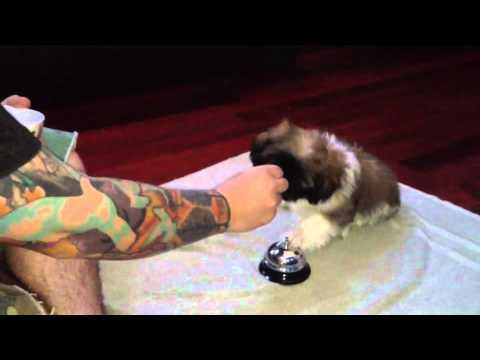 Shih Tzu Potty Bell Training Youtube
