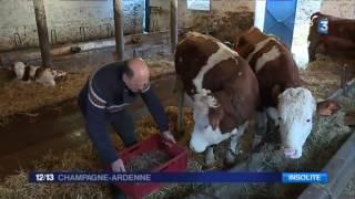 Des vaches abreuvées à la bière à Chimay, en Belgique