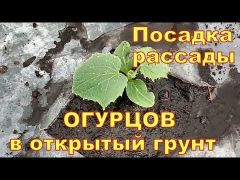Посадка рассады огурцов для раннего урожая в открытый грунт