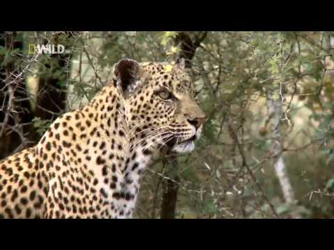 Documentary / Leopard Life part 3 of 3
