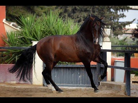 Андалузская лошадь - красавица в движении. Андалузы ...