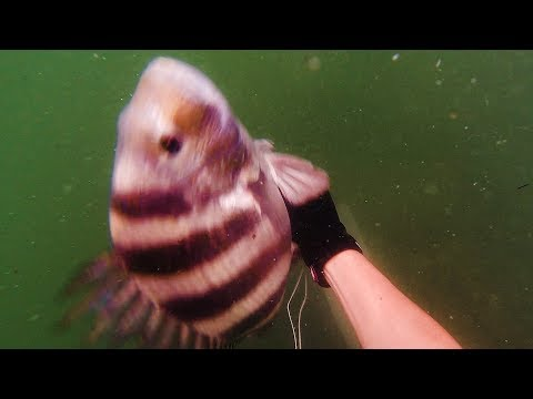 SPEARFISHING JETTIES For Sheepshead + Jetty Spearfishing Gear