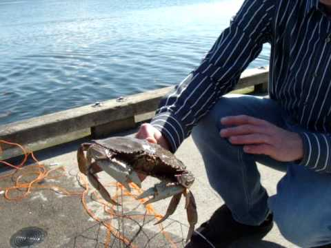 how to catch crabs in bc