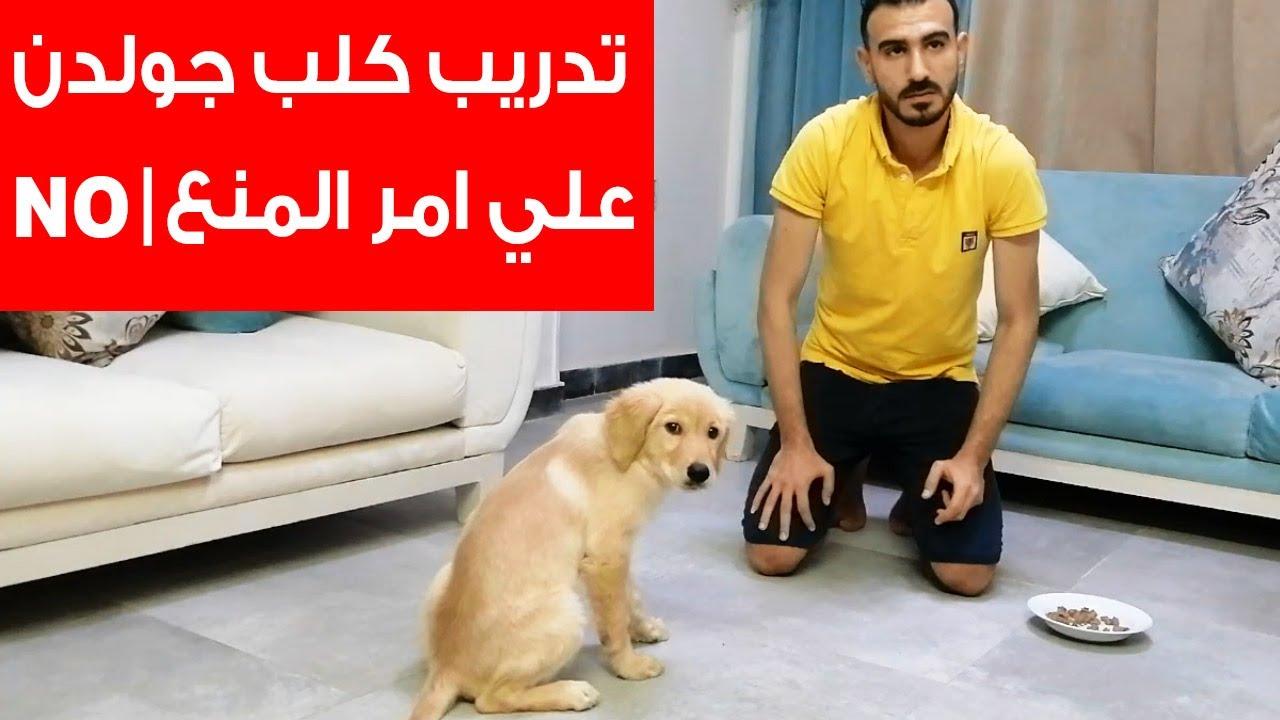 تدريب اصغر كلب جولدن علي امر المنع | NO | استجابة بسرعة جدا سبحان الله