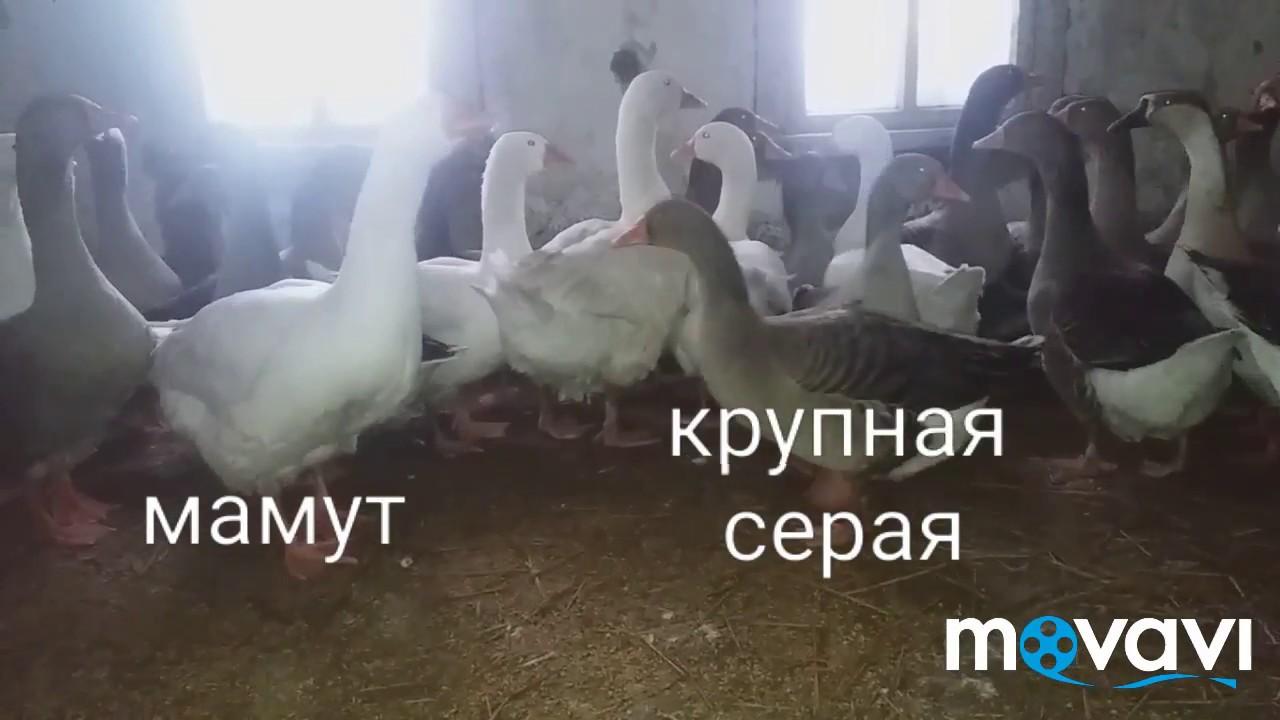 В интернет-магазине мясной № 1 вы можете купить мясо гуся. Лучшие цены за 1 кг на гусиное мясо в москве и московской области. Доставка по.