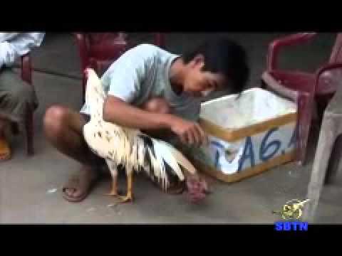 Tìm hiểu về Đá gà và con gà đá