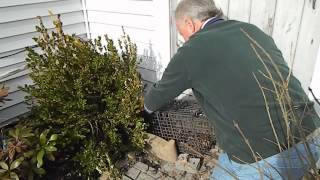 Live Trapping Groundhogs Using Comstock Cages Without Bait